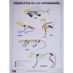LÁMINA ESQUELETO DE LOS VERTEBRADOS
