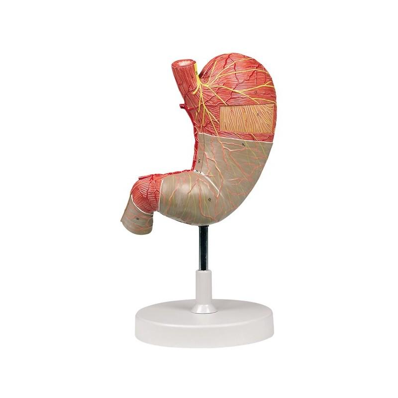 Anatomía del Estómago, compra online