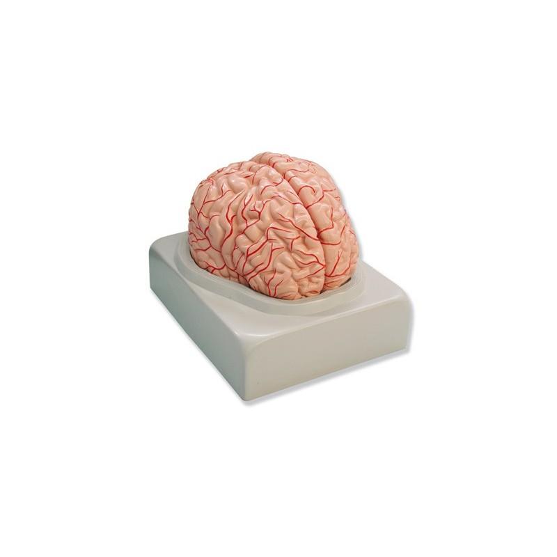Anatomía del Cerebro Humano, compra online