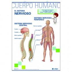 LÁMINA LA MUSCULATURA / EL SISTEMA NERVIOSO PRIMARIA