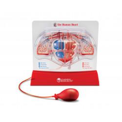 Modelo superior funcional del corazón